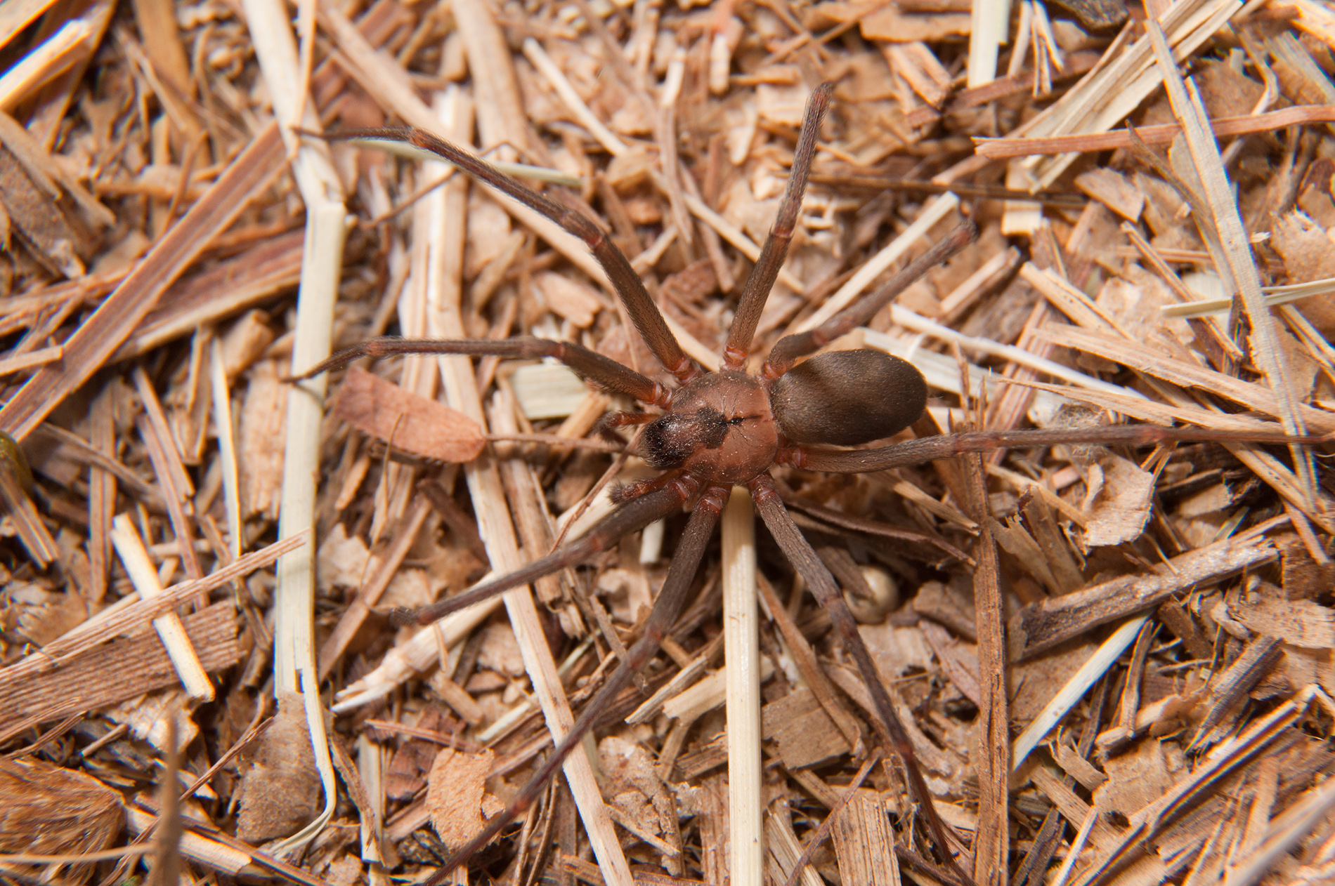 Brown recluse spider on pine straw