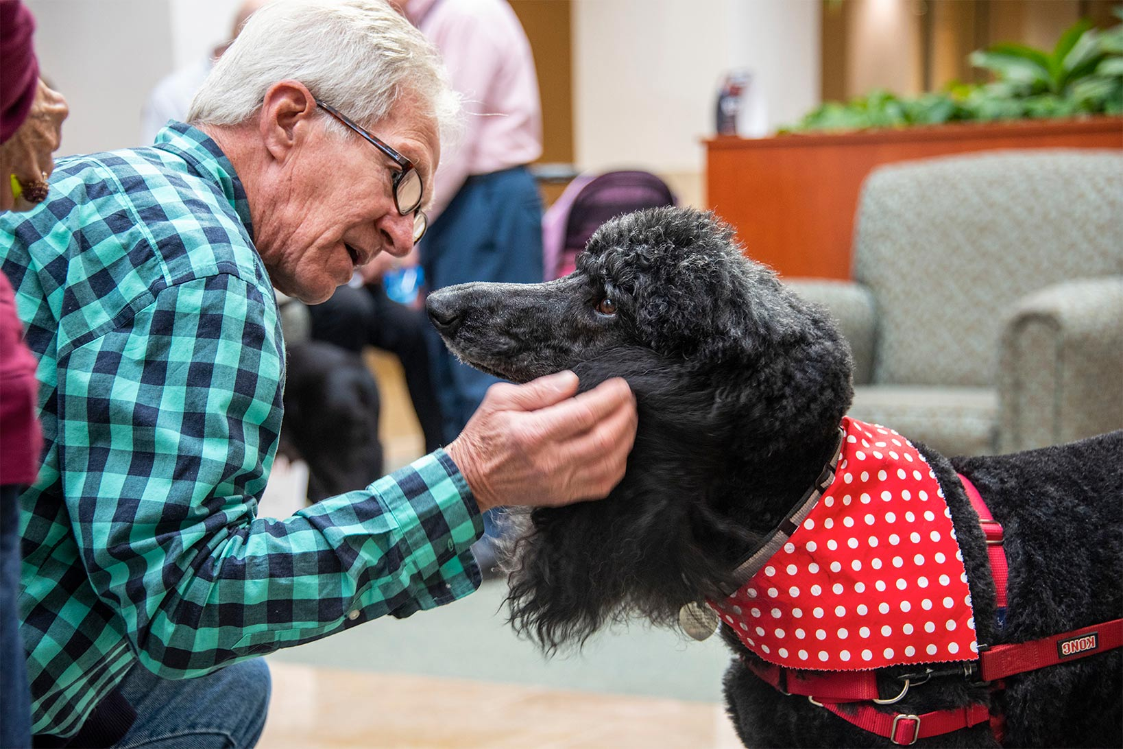 An Elderly Man Bending down to gently scruff the ears of a poodle in a red harness and red and white polkadot bandana.